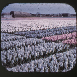 holland-tulips-viewmaster-ryan-van-winkle-dan-gorman